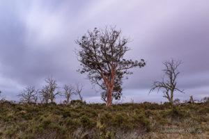 Miena Cider Gums at dusk in Tasmania's highlands