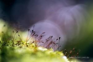Moss spores, Notley Fern Gorge Walk Tasmania