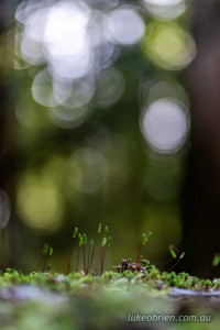 moss spores styx forest tasmania