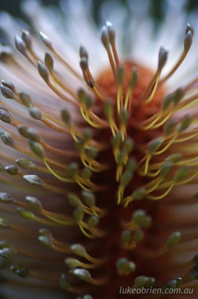 Banksia Flower - Macro/Abstract