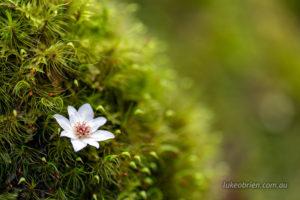 Tasmanian sassafras. Fallen flower on moss