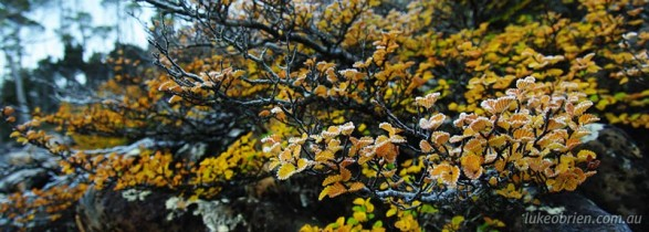 Autumn in Tasmania: Fagus at Lake Fenton, Mt Field National Park