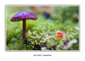 Tasmanian Macro Photo Greeting Cards - Toadstool, Mt Field