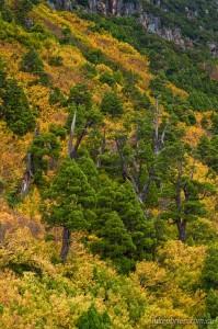 Turning of the Fagus, Tarn Shelf Tasmania