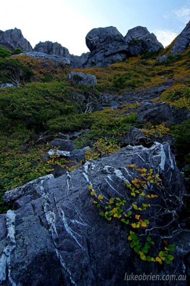 Fagus on Mt Murchison, Western Tasmania