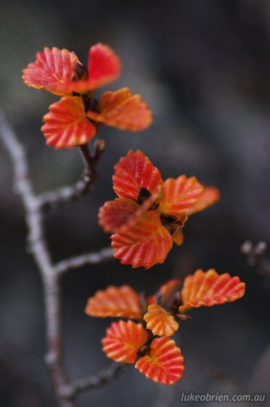 Red fagus leaves, Mt Murchison