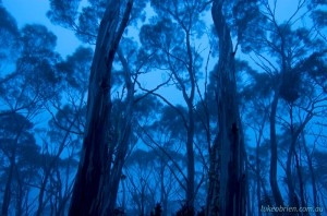 Tasmanian photography - snowgum woodland at dusk