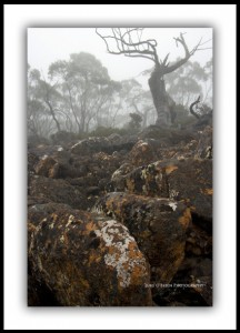 Snow Gum & Mist, Mt Wellington