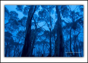 Snowgum Woodland at Dusk, Mt Wellington