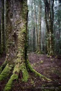 Myrtle forest on the Rattler Range, north east Tasmania