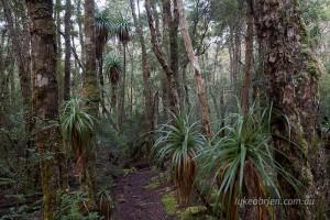 myrtle pandani rainforest tasmania