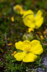 Yellow flowers, Overland Track