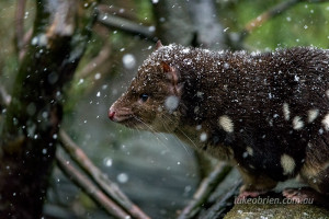 quoll snow cradle mountain