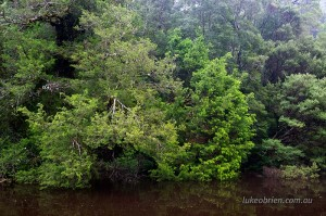 Huon Pine Rainforest on the Tarkines Donaldson River