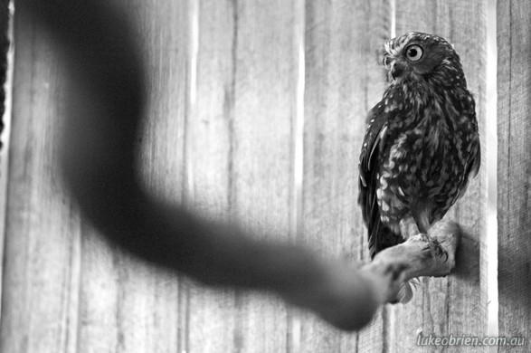 Boobook Owl, Raptor Refuge Tasmania