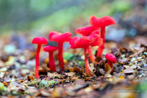 red fungi tarkine tasmania