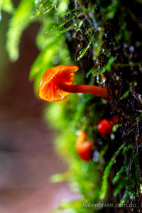 red hygrocybe tarkine tasmania