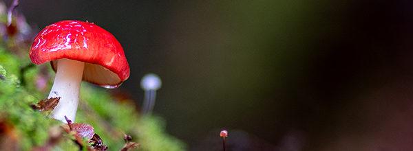russula persanguinea tasmanian fungi