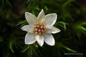 Tasmanian Sassafras flower