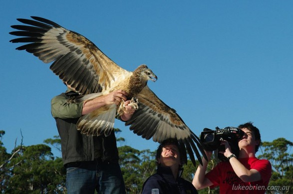Raptor Refuge Sea Eagle release, Bruny Island