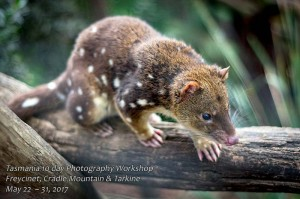 Tasmanian Spotted Tail Quoll