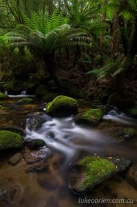 Rainforest near St Columba Falls Tasmania