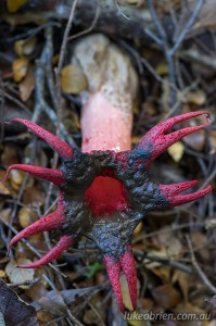 Stinkhorn fungi near Savage River, Tarkine