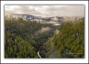 Styx Valley Giant Trees and mist, Tasmania
