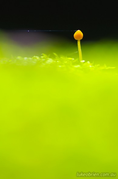 Macro photography - tiny fungi in the Styx Valley
