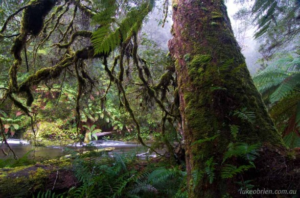 Beautiful rainforest on the banks of the Styx River, Tasmania