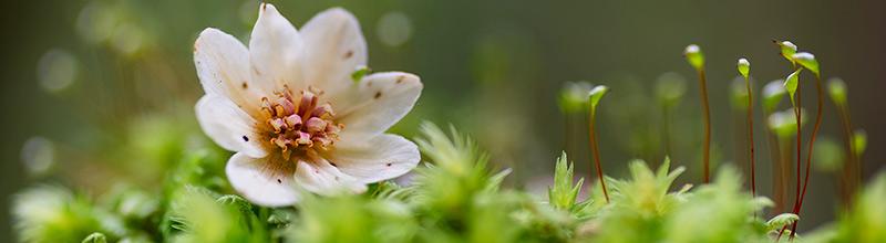 Sassafras flower on moss, Styx Valley