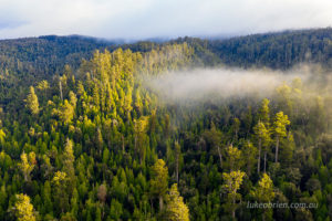 Early morning light on the mist shrouded tall trees of the Styx Valley