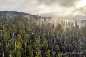 Tall trees in the mist, Styx Valley