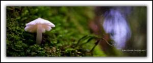 White fungi, Styx Forest Tasmania