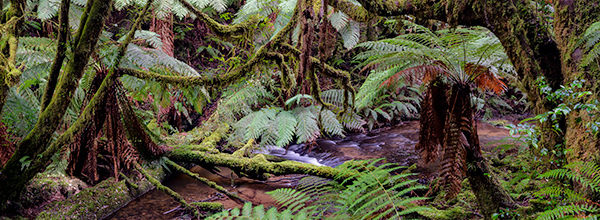 Rainforest along Gold Creek, Styx Valley