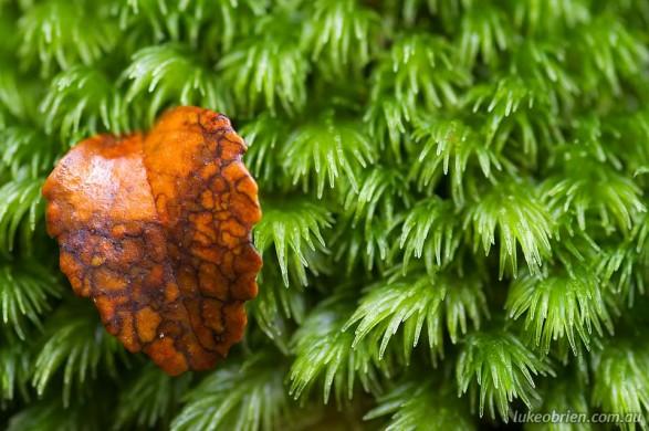 Myrtle leaf and moss, Tarkine