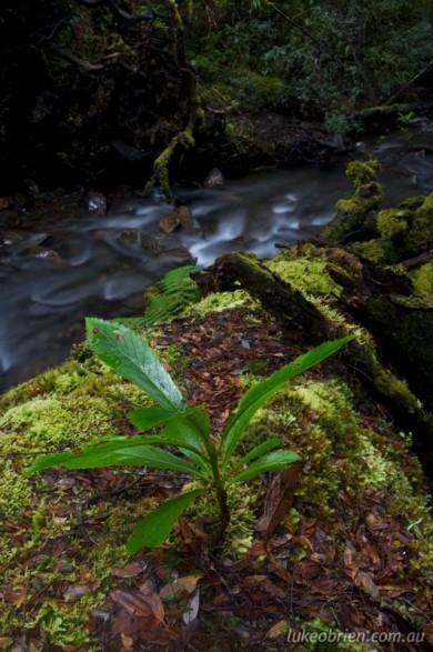 Tarkine rainforest stream at the Mt Lindsay mine site