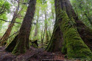 tarkine que rainforest logging tasmania