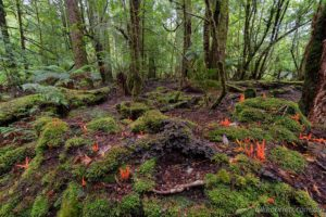 Fungi and rainforest, Que forests, Tarkine