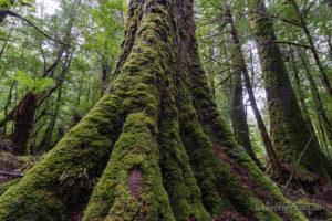 Giant myrtle, Que River forests, Tarkine