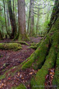 Myrtle and sassafras, Que Forests, Tarkine