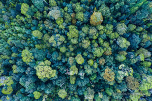 Tarkine drone photos - rainforest canopy