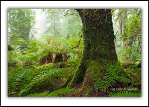 Tasmanian Photography: Tarkine Rainforest, Mt Lindsay