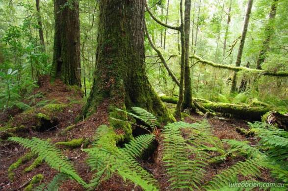 Tarkine Rainforest at the Mt Lindsay mine site