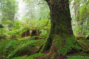 Rainforest on Mt Lindsay, The Tarkine