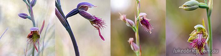 Tasmanian Beard Orchids (Calochilus)