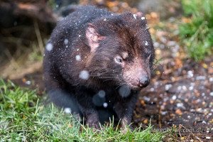 tasmanian devil snow cradle mountain