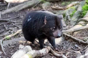 tasmanian devils cradle mountain