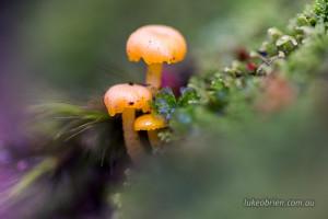tasmanian fungi overland track