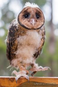 Masked Owl Raptor Refuge Tasmania